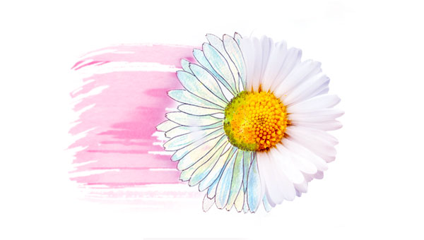 Chamomile flower half illustrated, half real, with pink watercolor wash in back